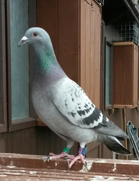 harrison and hull have quality racing pigeons for sale